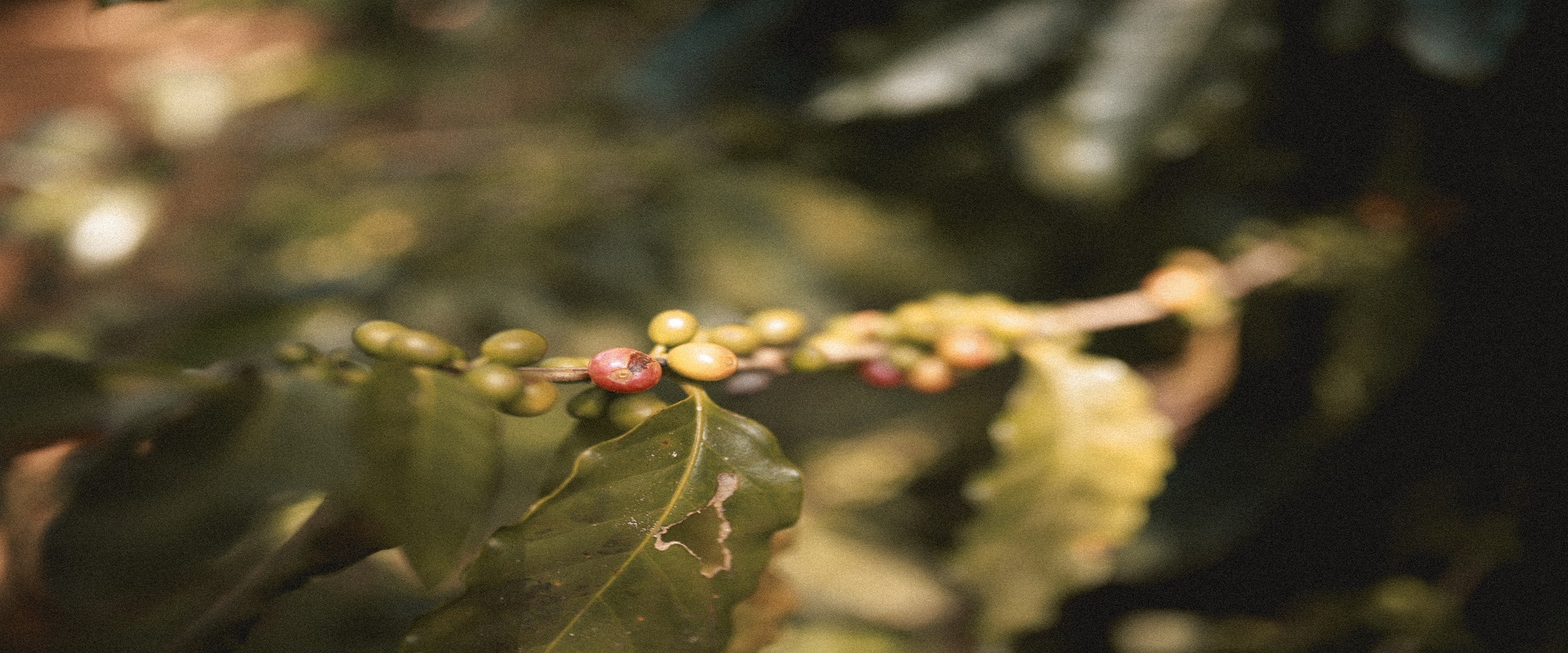 Scientists Rediscover A Rare, Wild Species That Could Save Coffee From Climate Change